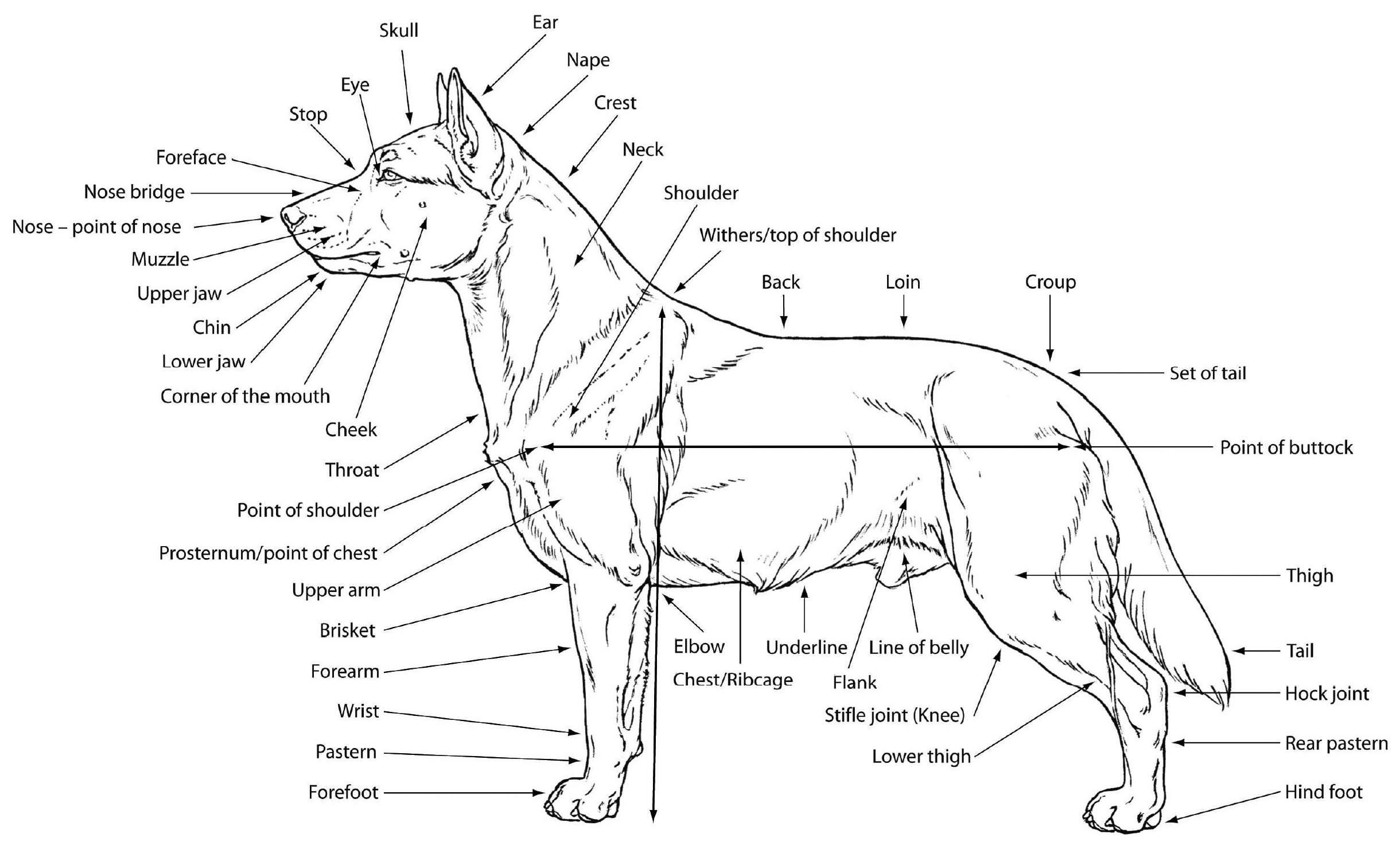 Dog Anatomy Diagram Blank - Trusted Wiring Diagram •